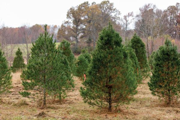 Trees at Hilltop Tree Farm