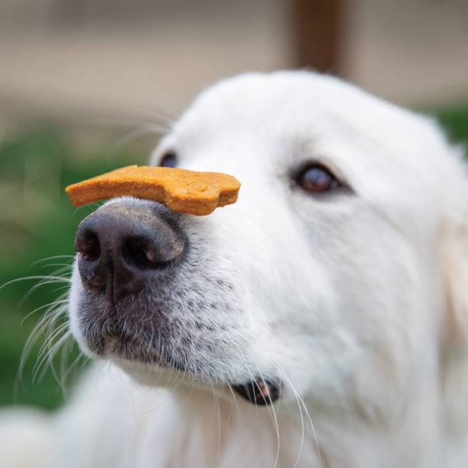 Dog with a biscuit resting on his nose